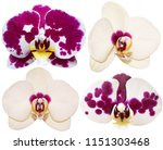 orchids isolated on white... | Shutterstock . vector #1151303468