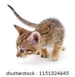 small brown kitten isolated on... | Shutterstock . vector #1151324645
