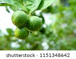 fresh limes or green lemon on... | Shutterstock . vector #1151348642