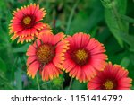 Close Up Indian Blanket Blooms.