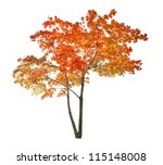 Red autumn maple tree isolated...