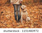 Stock photo woman and labrador in autumn park retriever in park walking with dog pets and people best 1151483972