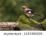 beautiful  colorful songbird ... | Shutterstock . vector #1151500205