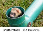 A Ferret Peers Out Of A Pipe ...