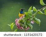 more photos of birds taken in... | Shutterstock . vector #1151620172