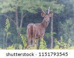deer are wild animals in the... | Shutterstock . vector #1151793545