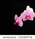 gorgeous orchid flower on black ... | Shutterstock . vector #1151839718