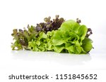 fresh butterhead with red and... | Shutterstock . vector #1151845652