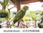 beautiful green parrot with... | Shutterstock . vector #1151908088