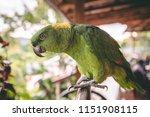 beautiful green parrot with... | Shutterstock . vector #1151908115
