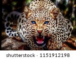 wildcat leopard angry face  | Shutterstock . vector #1151912198