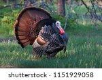 Eastern Wild Turkey Tom ...
