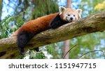 The Red Panda  Ailurus Fulgens