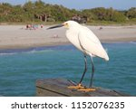 Snowy Egret Showing Its Yellow...