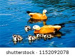Ducks With Ducklings On Water....