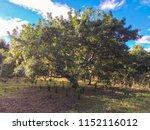 plantation jocotes trees.   Shutterstock . vector #1152116012