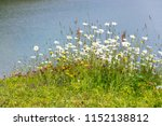 Beautiful marguerites and other wildflowers on bank of pure lake in Alps, Austria, peaceful meditation romantic love, concept
