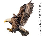 Small photo of Bald eagle flying swoop attack hand draw and paint color on white background illustration.