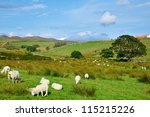 Sheeps at a pasture in Scotland - stock photo
