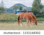 mother horse with foal eating... | Shutterstock . vector #1152168302