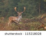 Fallow Deer Making His Way Int...