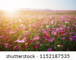 landscape flower cosmos and... | Shutterstock . vector #1152187535