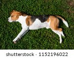beagle dog resting in garden in ... | Shutterstock . vector #1152196022