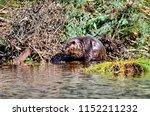 beaver working on beaver lodge   Shutterstock . vector #1152211232