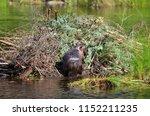 beaver working on beaver lodge   Shutterstock . vector #1152211235