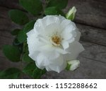 beautiful white rose | Shutterstock . vector #1152288662