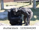 chimpanze monkey couple | Shutterstock . vector #1152444245