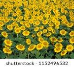 Array Sunflowers - Fine Art prints