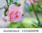Stock photo coral rose flower in roses garden top view soft focus 1152600098