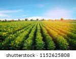 potato plantations grow in the... | Shutterstock . vector #1152625808