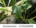 green leaves  close up. forest  ... | Shutterstock . vector #1152628088