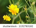 yellow cosmos or cosmos... | Shutterstock . vector #1152783182