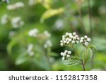 billygoat weed or ageratum... | Shutterstock . vector #1152817358