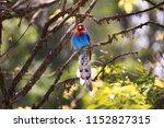 the sri lanka blue magpie or... | Shutterstock . vector #1152827315