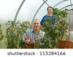Man and woman picking tomato in greenhouse - stock photo