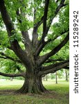 Large Oak Tree With Outreachin...