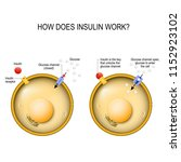 insulin regulates the... | Shutterstock .eps vector #1152923102