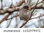 variations in galapagos finches ... | Shutterstock . vector #1152979472