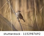 house sparrow  passer... | Shutterstock . vector #1152987692