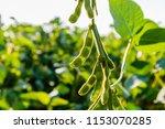 soybean pods  close up. ... | Shutterstock . vector #1153070285