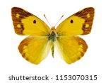Stock photo colias crocea on a white background 1153070315