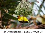 easter golden weaver building a ... | Shutterstock . vector #1153079252