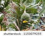 easter golden weaver building a ... | Shutterstock . vector #1153079255