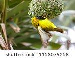 easter golden weaver building a ... | Shutterstock . vector #1153079258