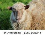 shaggy wool sheep portrait in... | Shutterstock . vector #1153100345