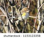 a female warbler | Shutterstock . vector #1153123358